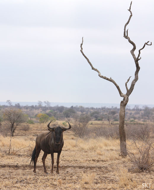 Lone wildebeest with lone dead tree.