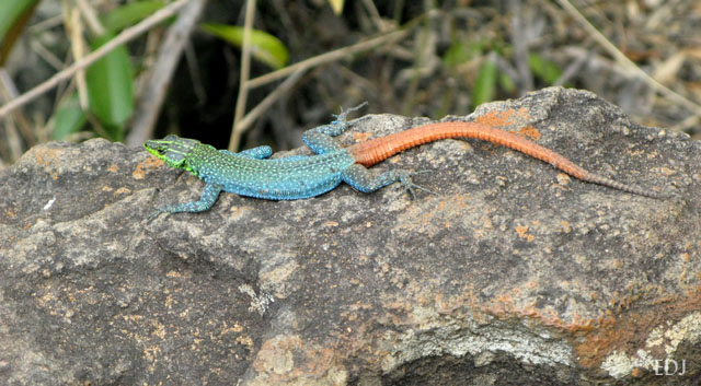 green, blue and red lizard on a rock