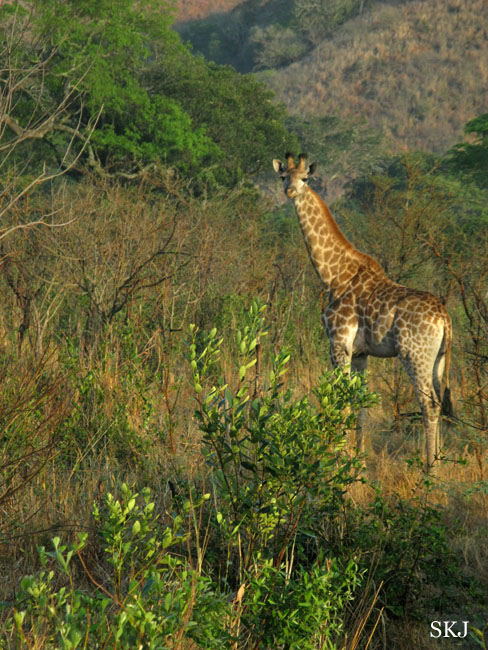 Young giraffe in thick brush.