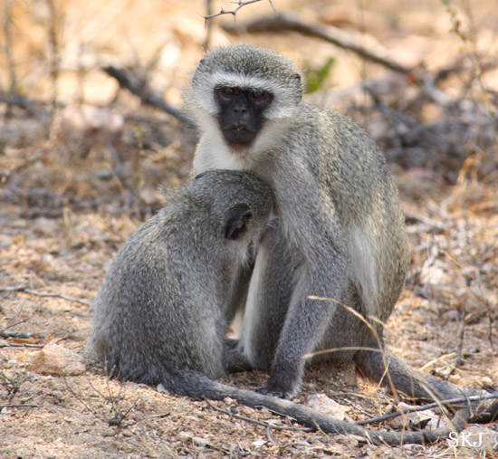 vervet monkey suckling from mother