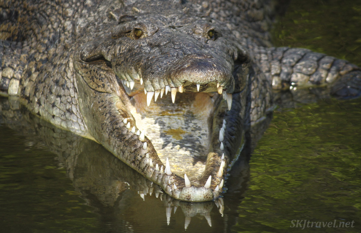 Welcome to my mouth! American crocodile at Popoyote Lagoon at Playa Linda, Ixtapa, Mexico. cocodrilario crocodile reserve