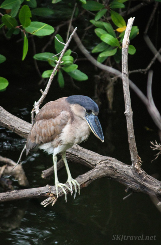 Boat-billed heron tasting the waters in Popoyote Lagoon at Playa Linda, Ixtapa, Mexico. cocodrilario crocodile reserve