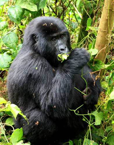 Young mountain gorilla munching leaves. Bwindi NP, Uganda