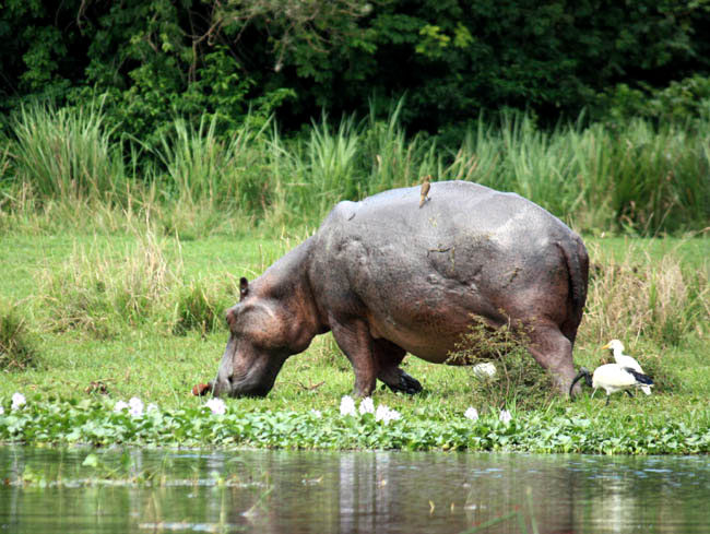 Hippo with oxpecker and egrets, Queen Elizabeth NP Uganda