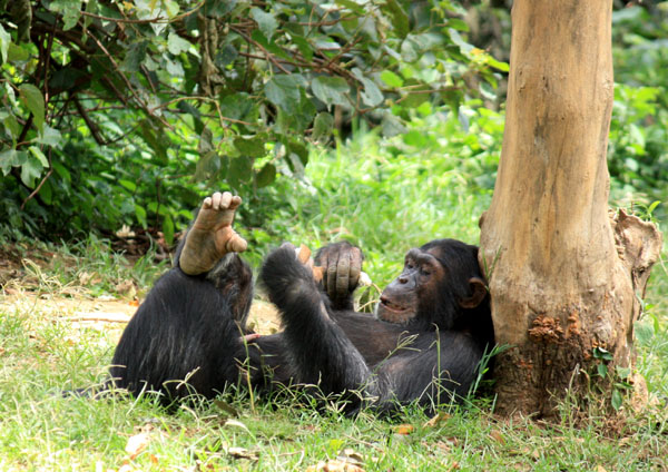 Onapa, may favorite chimpanzee, chillin' under a tree. Uganda