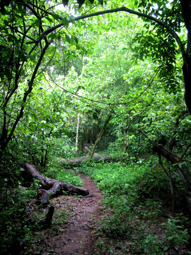 Dense rainforest in Budongo NF Uganda