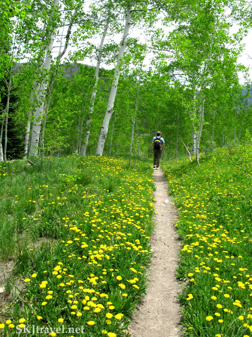 Profusion of dandelions along trail in Mt. Zirkel Wilderness, Colorado